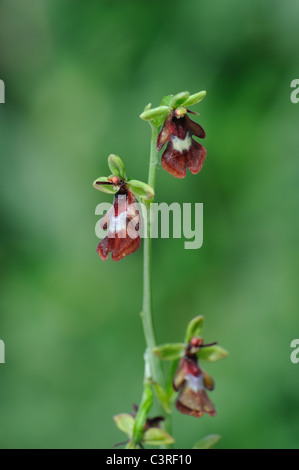 Fly orchid (Ophrys insectifera) flowering at spring - Stock Photo