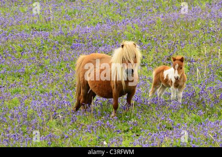 shetland pony mare with he foal among the bluebells - Stock Photo