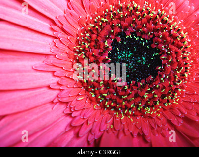 Chrysanthemum. Macro photo of the red flower - Stock Photo