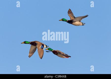 Mallard / Wild ducks (Anas platyrhynchos) males in flight - Stock Photo