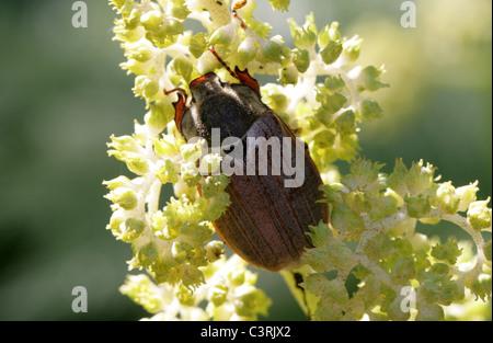 Maybug or Cockchafer, Melolontha melolontha, Melolonthinae, Poxviridae, Coleoptera.