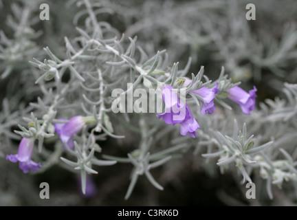 Emu Bush or Silky Eremophila, Eremophila nivea, Scrophulariaceae (Myoporaceae). Western Australia. - Stock Photo