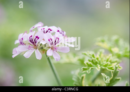 Pelargonium graveolens 'lady plymouth'. Scented Geranium or Old Fashioned Rose Geranium flowers - Stock Photo
