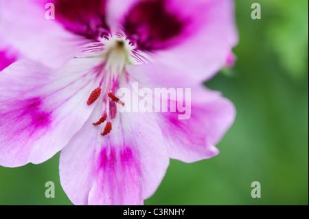 Pelargonium 'orsett'. Scented Geranium. Scented Pelargonium flower - Stock Photo