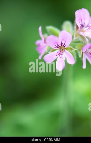 Pelargonium graveolens 'round leaf rose'. Scented Geranium or Old Fashioned Rose Geranium flowers - Stock Photo