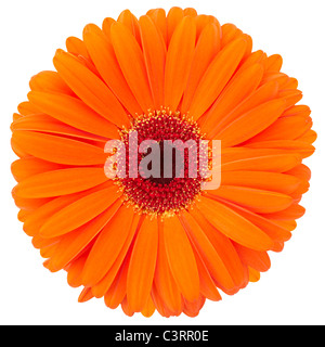 Orange gerbera daisy - Stock Photo