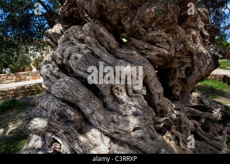 The world's oldest olive tree, in the village of Ana Vouves, thought to be between 2000-3000 years old. - Stock Photo