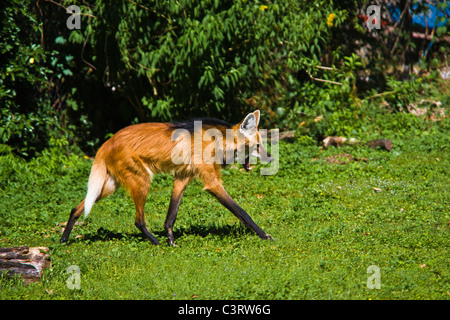 The Maned Wolf (Chrysocyon brachyurus) is the largest canid of South America, resembling a large fox with reddish - Stock Photo