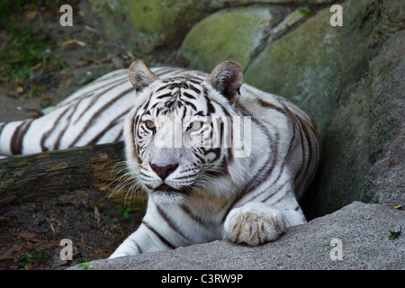 There is a well-known mutation that produces the white tiger, technically known as Chinchilla Albinistic - Stock Photo
