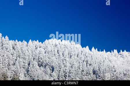 Pine or fir trees covered in snow in winter / early spring on a ridge in the Great Smoky Mountains National Park, - Stock Photo