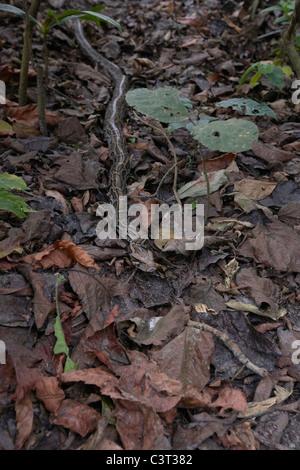 Nice ... Indian Rock Python, Python Molurus On Forest Floor, Chitwan National  Park, Nepal.