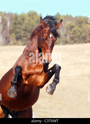 bay horse rearing in the field - Stock Photo