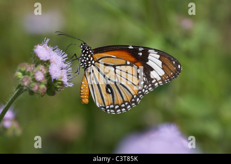 Common tiger butterfly, Danaus genutia or striped tiger butterfly, Chitwan National Park, Nepal. - Stock Photo
