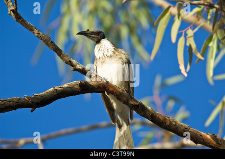 Noisy Friarbird, Ourimpere Waterhole, Currawinya National Park, Queensland, Australia - Stock Photo