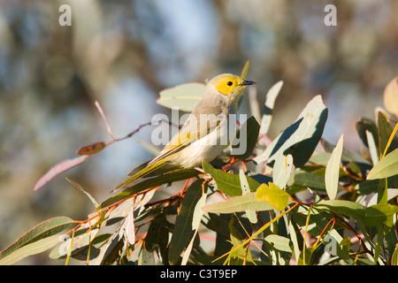White-plumed Honeyeater, Diamantina River, Birdsville, Queensland, Australia - Stock Photo