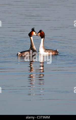 Great Crested Grebes - Podiceps cristatus - Stock Photo