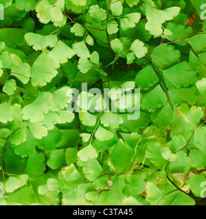 Fresh green Himalayan maidenhair fern leaves (selective focus) - Stock Photo