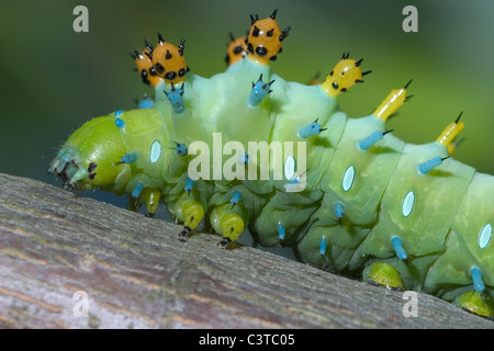 A Very Colorful And Strange Looking Creature, The Cecropia Moth Caterpillar, Hyalophora cecropia - Stock Photo