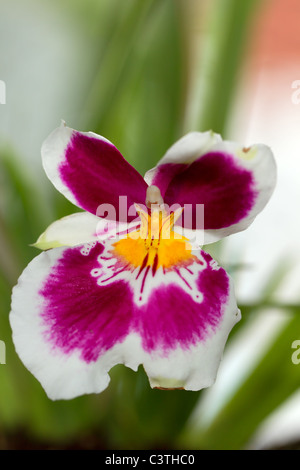 Mature Miltonia Orchid Shot In Ecuadorian Amazon Basin Early In The Morning - Stock Photo