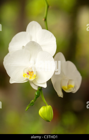 Bunch Of White Phalaenopsis Shot In Ecuadorian Part Of Amazonia - Stock Photo