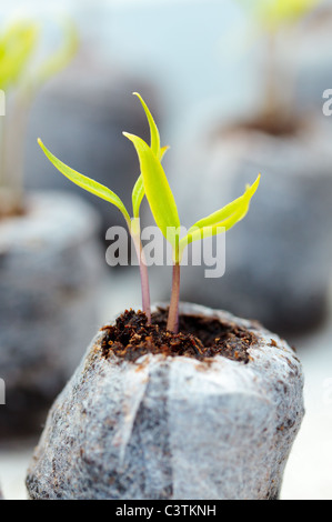 Closeup of tomato seedlings in peat balls, outdoor - Stock Photo