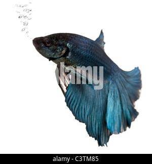 Blue Siamese fighting fish, Betta Splendens, swimming in front of white background - Stock Photo