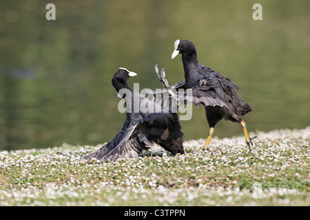 Coot, Fulica atra, birds flighting on grass, Midlands, April 2011 - Stock Photo