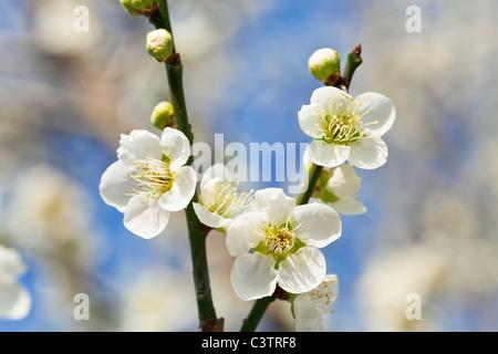 White Plum blossoms - Stock Photo
