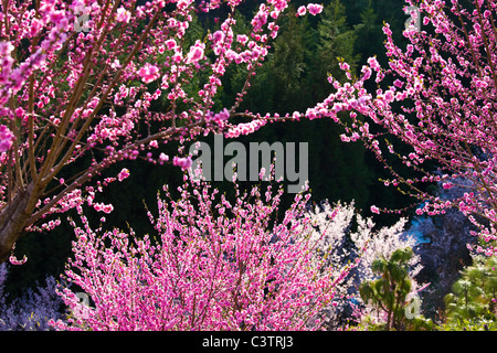 Peach and Cherry Blossoms - Stock Photo