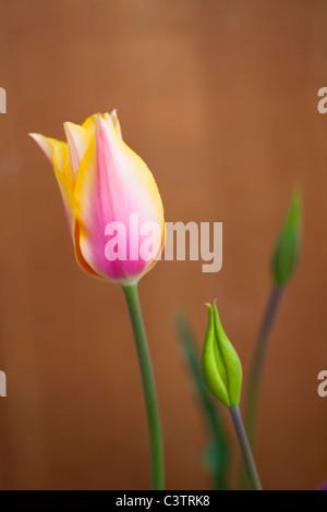 Single Tulip Flower - Stock Photo