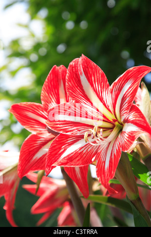 Amaryllis Flowers - Stock Photo