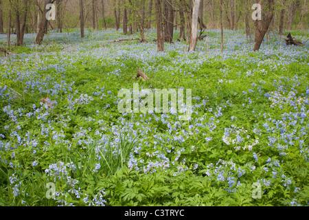 Virginia Bluebells, Mertensia virginica, Cardinal Marsh natural area, Winneshiek County, Iowa - Stock Photo