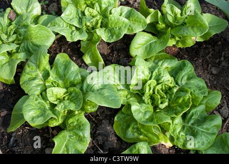 Lettuce plants - Stock Photo