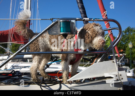 Spanish Water dog / Perro de Agua Espanol (Canis lupus familiaris) strapped in harness on board of sailing boat - Stock Photo