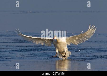 Mute swan (Cygnus olor) landing on frozen lake in winter, Germany - Stock Photo