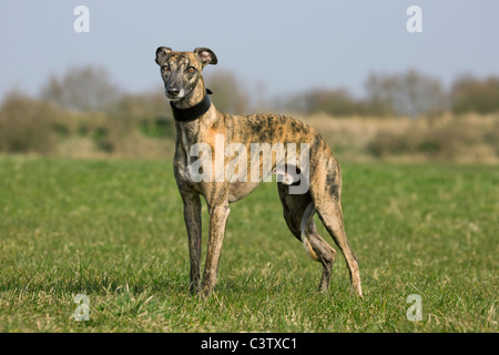 Whippet (Canis lupus familiaris) in field - Stock Photo