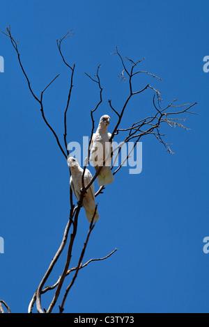 Little Corella Cockatoos ( Cacatua sanguinea ) in tree, Western Australia - Stock Photo