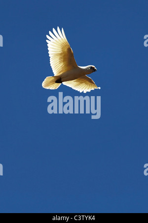 Flying Little Corella Cockatoo ( Cacatua sanguinea ) Western Australia - Stock Photo
