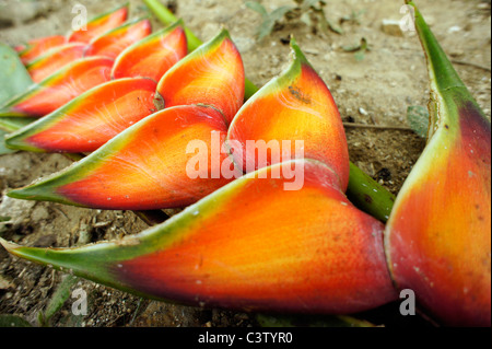 Tropical flower (Heliconia Red Wagneriana), Minca, Magdalena department, Colombia - Stock Photo