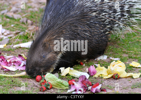 Closeup Indian Crested Porcupine (Hystrix indica) eating vegetables - Stock Photo
