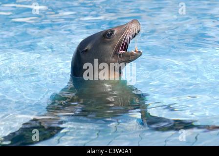 Profile portrait California sea lion (Zalophus california) in blue water - Stock Photo