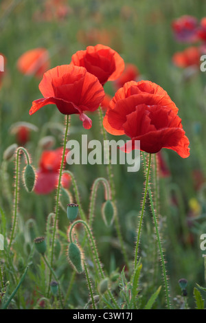 Glorious red poppies growing in the fields near Cheltenham in the Cotswolds of England - Stock Photo