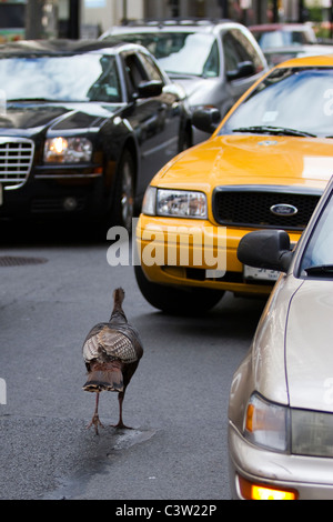 Young Wild Turkey Wandering the Streets of Lower Manhattan - Stock Photo