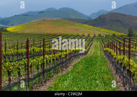 Rows of wine grape vines in vineyard and green hills in Spring, Edna Valley, San Luis Obispo County, California - Stock Photo