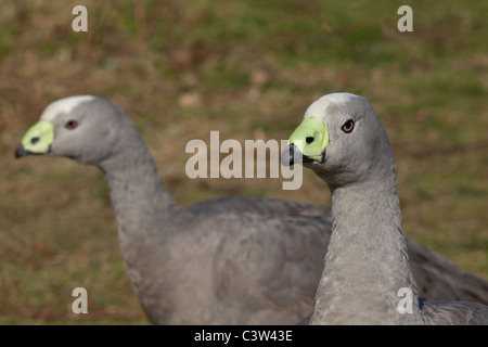 Cape Barren or Cereopsis Geese  (Cereopsis novaehollandiae). Islands off southern Australia. Head with green cere - Stock Photo