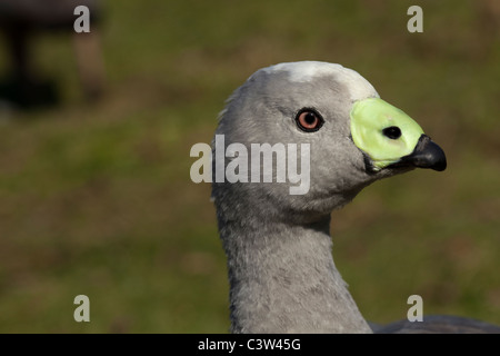 Cereopsis or Cape Barren Goose (Cereopsis novaehollandiae). Islands off southern Australia. - Stock Photo