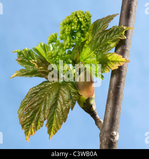 Sycamore Maple leaf buds opening (Acer pseudoplatanus) Stock Photo