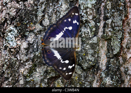 Purple Emperor (Apatura iris) on tree bark, Belgium - Stock Photo