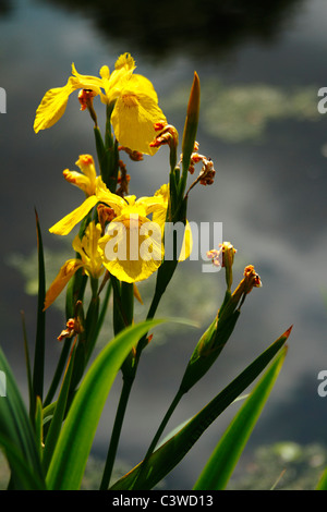 Yellow Flag Water Iris (Iris pseudacorus) - Stock Photo