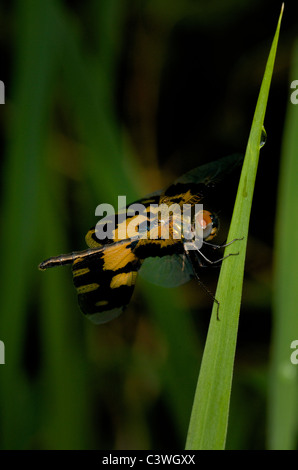Common Picture Wing (a.k.a Variable Glider) Rhyothemis variegata dragonfly - Stock Photo